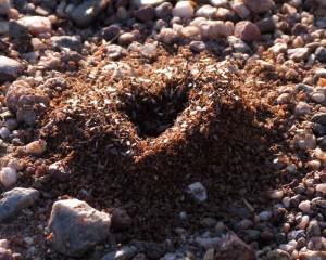 Argetine ant colony