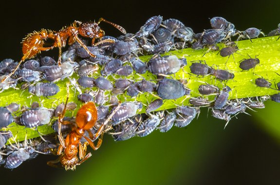 Aphids-img