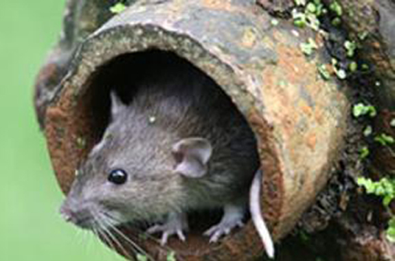 Rats are long-tailed rodents.