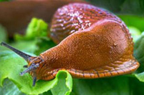 Snail on Lettuce
