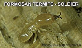 formosan termite-soldier