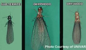 sub-termite, dampwood, dry-wood