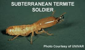 subterranean termite soldier