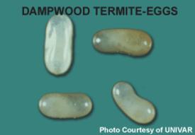 dampwood termite-eggs