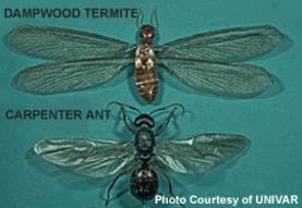 dampwood termite vs carpenter ant