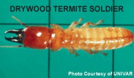 drywood termite soldier