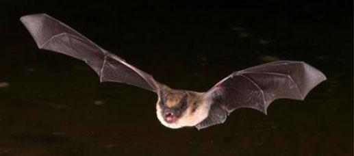 Corky's Bat Identification