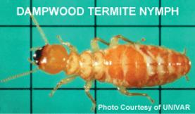 dampwood termite nymph