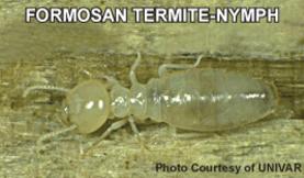 formosan termite-nymph