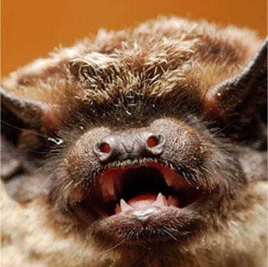 Yuma Myotis Bat