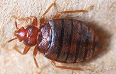 Corky's Bed Bugs  Service