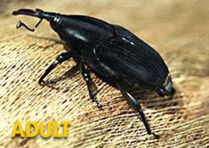 South American Palm Weevil Audit