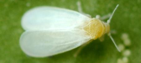 Corky's White Fly Identification