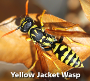Yellow Jacket Wasps