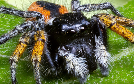 Red-Back Jumping Spider