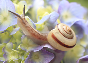 White Garden Snail