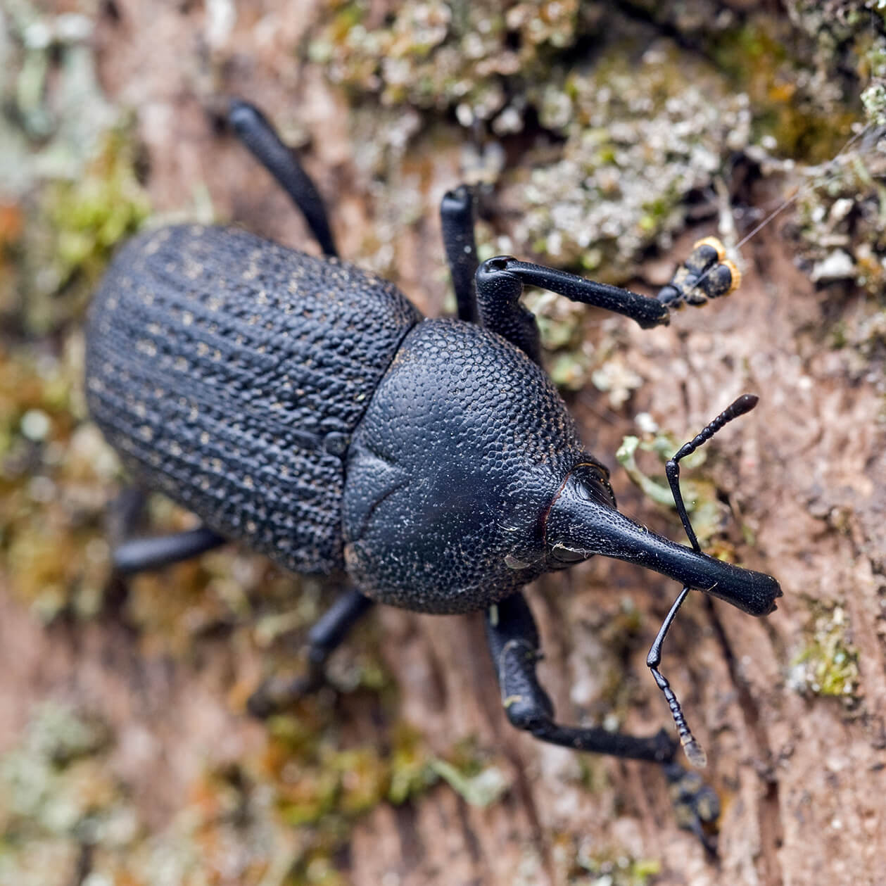 Palm Weevils