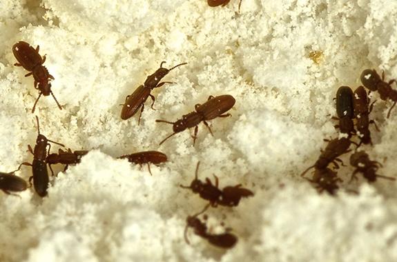 Sawtooth Grain Beetles