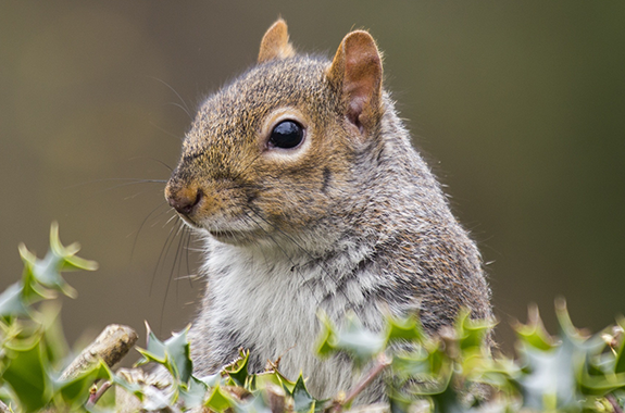 Corky's Rodent Identification