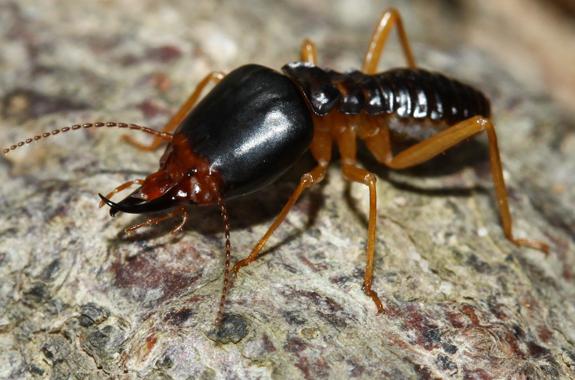 Corky's Termite Identification