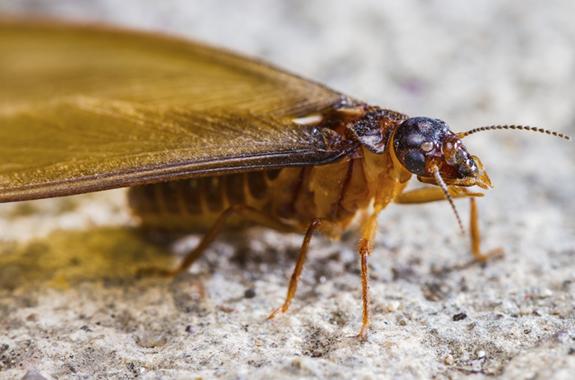 Corky's Termite Spot Treatment