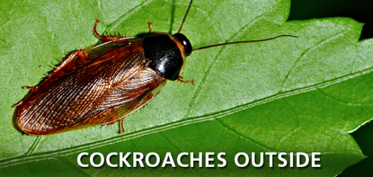 Cockroaches Outside