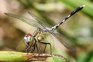 Dragon fly eating mosquito