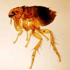 Flea amber