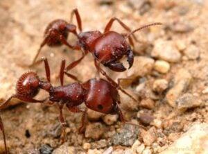 Harvester Ant Maricopa