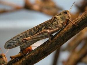 Locust on branch