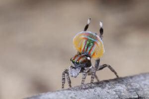 Peacock Spider Jurgen-otto.2
