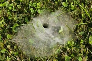 Dew covered web of funnel web spider created in grass
