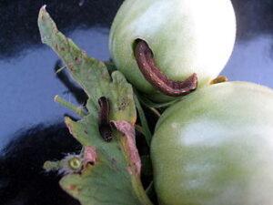 Tomato_fruitworm
