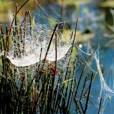 Wooly spider web