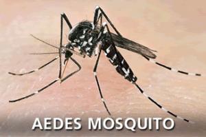 Aedes Albopictus- Asian Tiger Mosquito