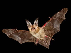 bat flying Plecotus auritus