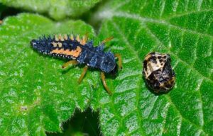 lady bug larvae 2