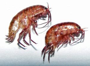lawn_shrimp_earthman