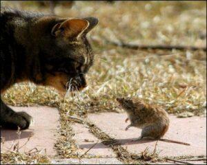 rat and cat