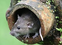 rat_pipe