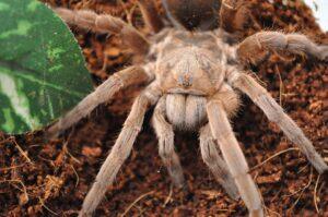 tarantula-315749_960_720