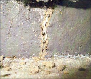 western subterranean termites
