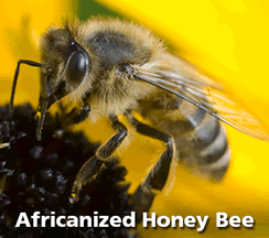 Africanized Honey Bee