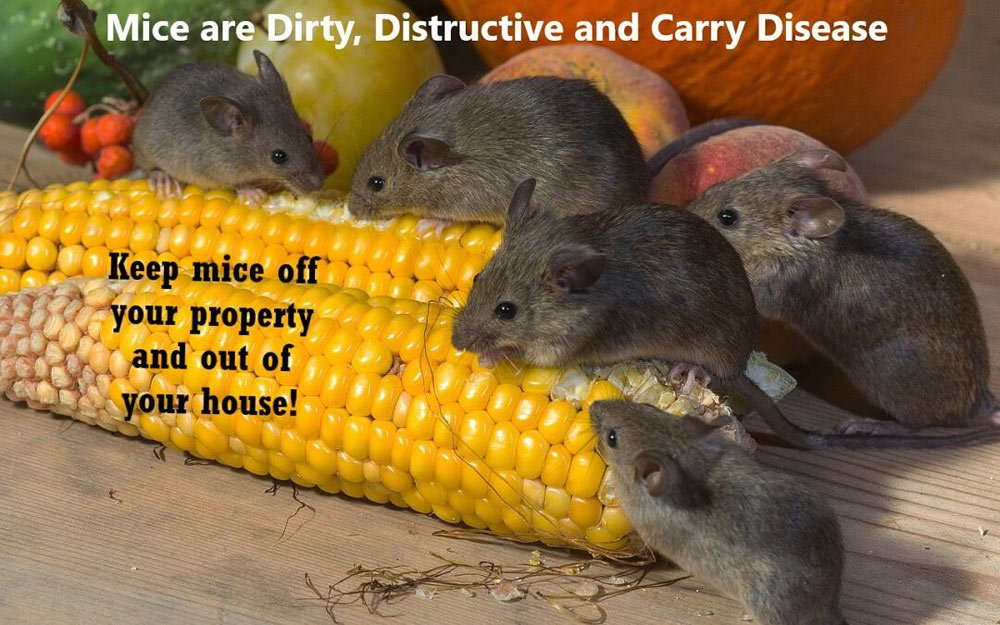 Sick of Mice Invading Your Home?